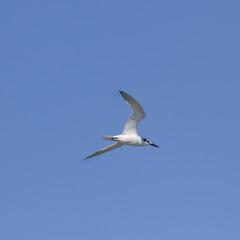 Sandwich Tern (Thalasseus sandvicensis )