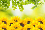 Sunflower with summer scene background