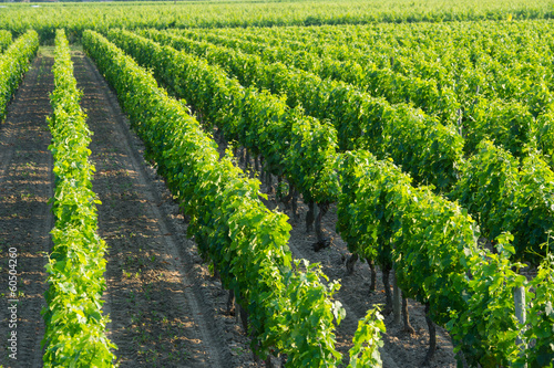 Vineyards in the sunshine