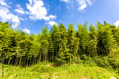 bamboo forest and blue sky
