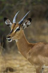 Schwarznasenimpala- Männlich- im Etosha Park, Namibia