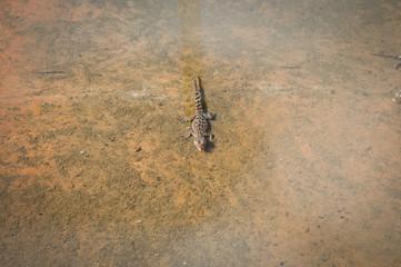 Młody krokodyl