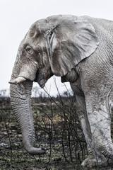 Alter weißer Elefant im Etosha Park, Namibia