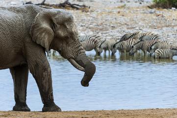Elefant am Okaukuejo Wasserloch im Etosha Park, Namibia