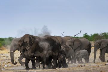 Elefanten verteilen Sand als Sonnenschutz, Etosha , Namibia