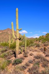 Arizona desert view with giant saguaro cactus