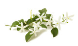 Fototapety jasmine flowers