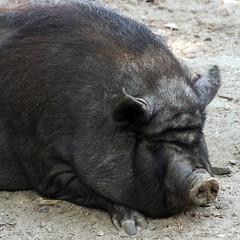 pig wild
