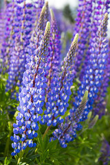 Flower of lupine