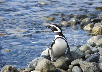 Penguin at the Strait of Magellan coast