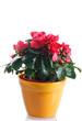 pianta di azalea fiorita in vaso