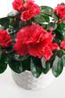 pianta di azalea in fioritura