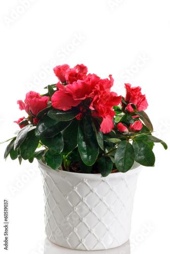 pianta fiorita di azalea in vaso