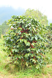 fresh coffee bean on tree