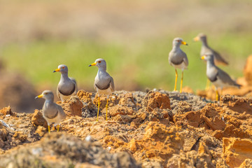 Grey-headed Lapwing (Vanellus cinereus) in nature