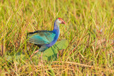 Purple Swamphen on the morning light