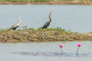 Comparison picture of young/adult Oriental darter