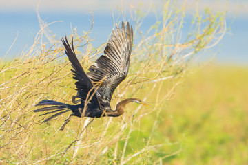 The wings of Oriental darter(Anhinga melanogaster)