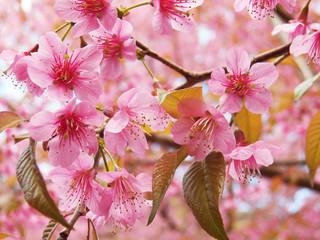 Prunus cerasoides, Wild Himalayan Cherry, Thai sakura