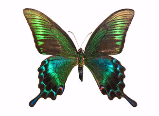 Butterfly Papilio bianor