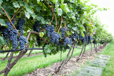 Ripe black grapes on vine with selective focus