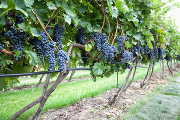 Closeup of ripe black grapes on vine with selective focus