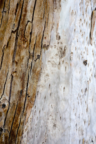 Bark and Trunk of Australian River Red Gum Tree