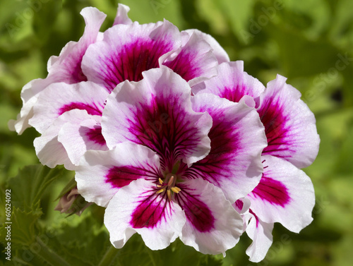Royal Pelargonium.