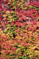 Farbige Blätter des wilden Weins im Herbst