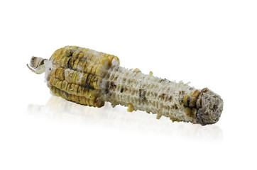 Rotten grilled corn with fungus isolated on white