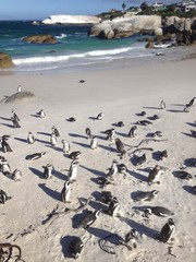 pinguins on south african beach