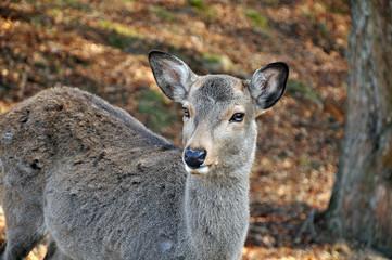 Standing deer at Nara, Japan