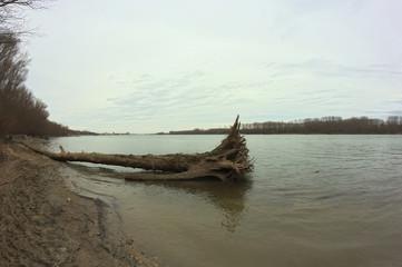 Big tree on river Danube