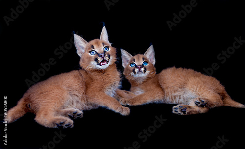 Two Caracal babies