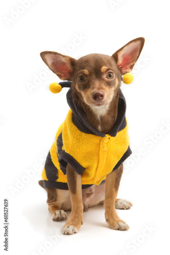 Chihuahua dressed up as a bee