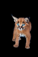 Floppy-eared caracal kitten
