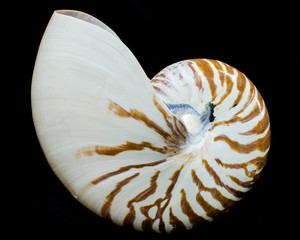 Chambered Nautilus sea shell isolated on black background