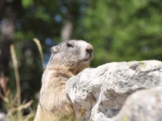 marmotte aguets