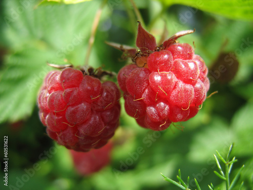Two appetizing raspberries on a twig