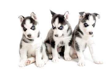 three purebred siberian husky puppies isolated on white