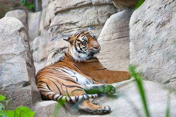 Sumatransky tiger lies on stones