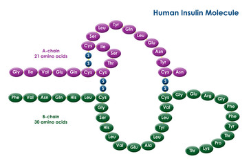 Illustration of a human insulin molecule