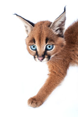 Caracal baby kitten on white background