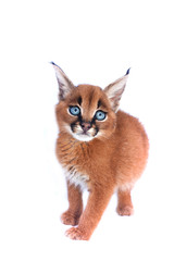 Blue-eyed baby caracal