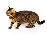 Bengal cat with reflection on white