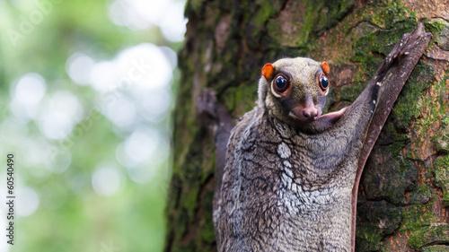 Fotobehang Singapore Sunda Flying Lemur