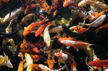 Many Colored Koi Carps