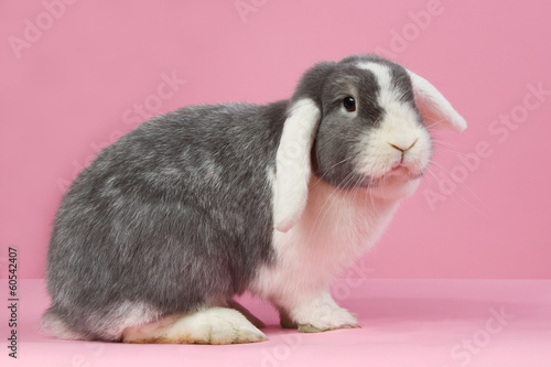 Mini-lop on a pink background
