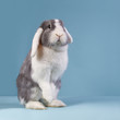 Standing mini-lop rabbit