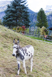 donkey on meadow, Switzerland